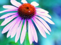 Badania naukowe dowodzą: jeżówka i sadziec hamują infekcje