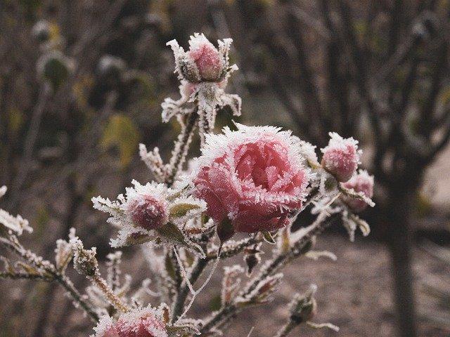 rose-4596093_640